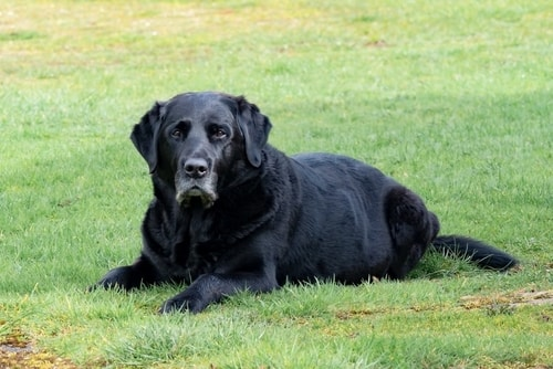 Arthritis in pets - dog