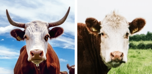 Dehorning cattle - cattle with and without horns2