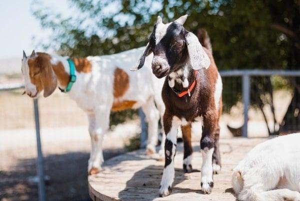 Goat vet services oakey