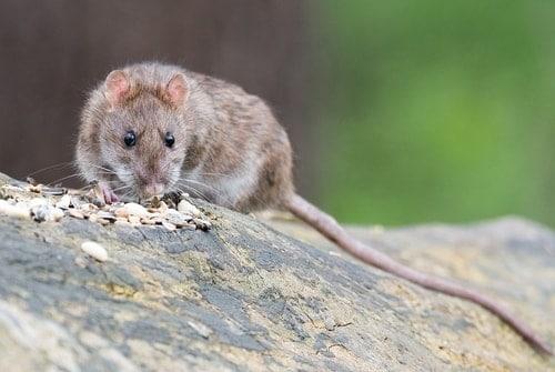 brown rat bait toxicity