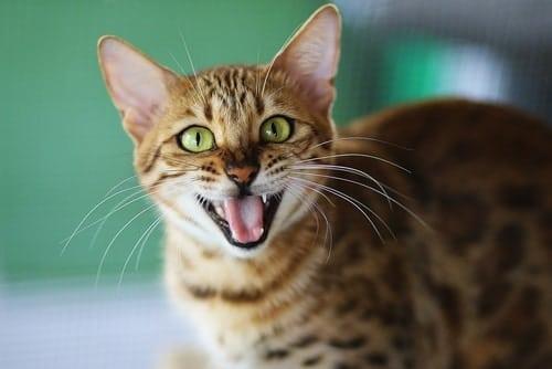 dental care - cat teeth