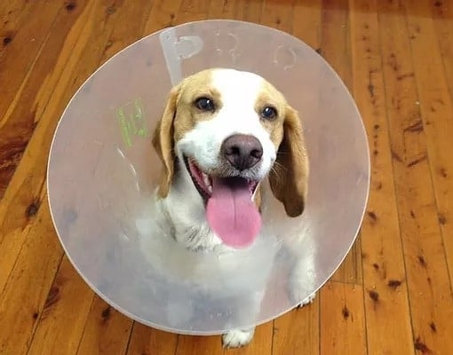 dog with cone after vet visit
