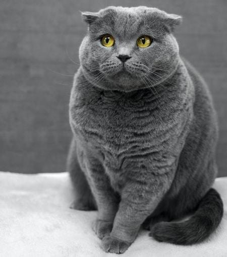 fat grey cat nutrition advice Millmerran