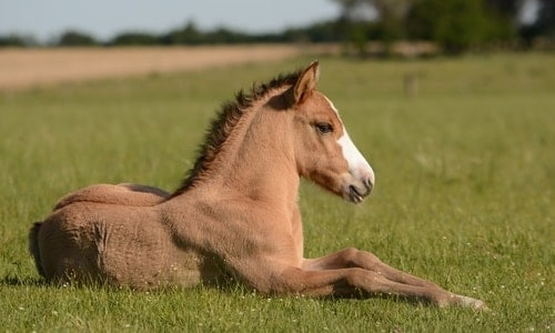 foal horse in field