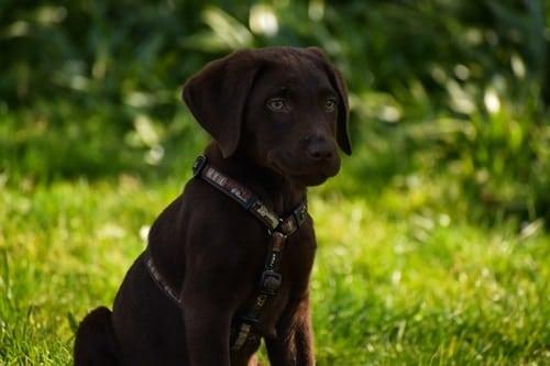 labrador puppy vet checks leyburn