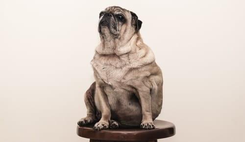 obese dog needing canine nutritional advice