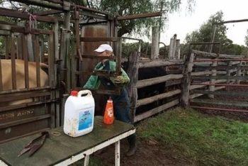 preg checking cows toowoomba