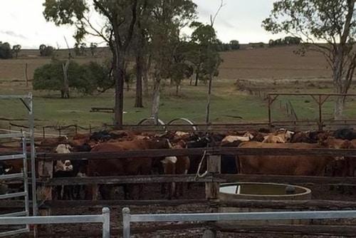 preg testing cattle oakey